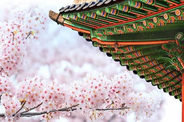 mua-hoa-anh-dao-han-quoc-2017-5632-gyeongbokgung-palace-with-cherry-blossoms