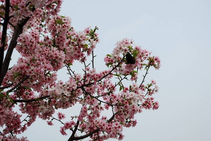 mua-hoa-anh-dao-dai-loan-thang-may-69490-700x