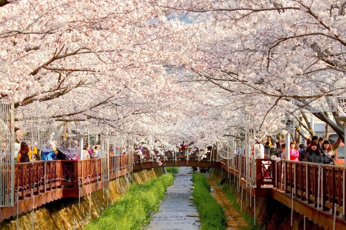 mua-hoa-anh-dao-han-quoc-2017-cherry-blossom