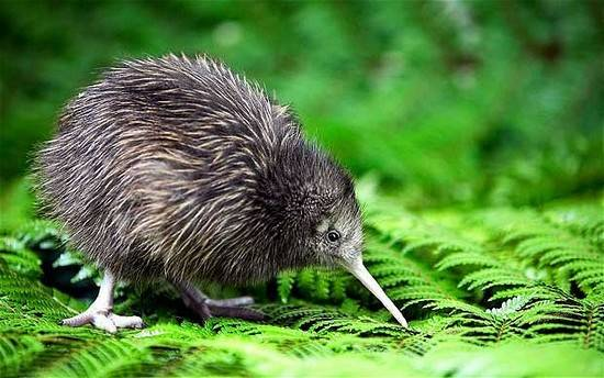 new-zealand-noi-tieng-ve-cai-gi-chim-kiwi-new-zealand