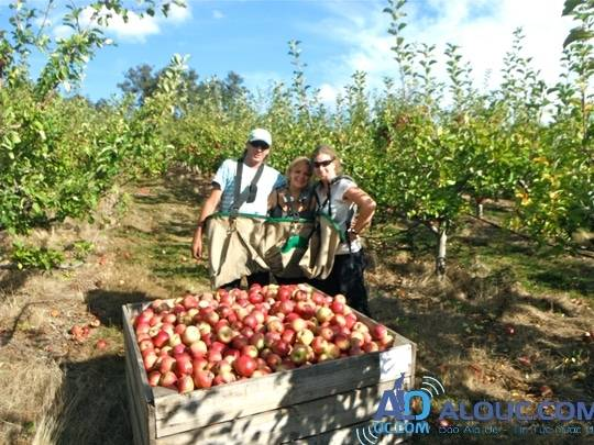 mua-he-nuoc-uc-fruit-picking-in-australia