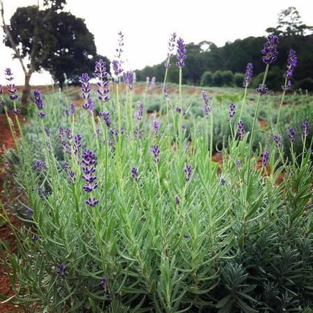 hoa-lavender-da-lat-ivivu-1