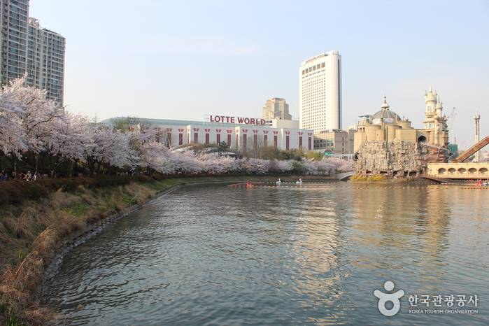 mua-hoa-anh-dao-han-quoc-2017-hq4