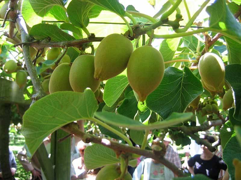 nhung-mon-an-ngon-o-new-zealand-kiwi-1