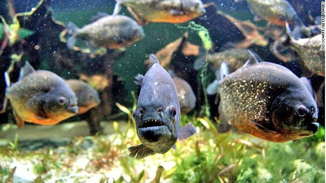 kinh-nghiem-du-lich-brazil-piranha