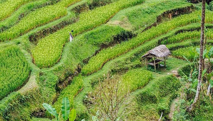 du-lich-indonesia-tu-tuc-ubud-bali-rice-terraces-cr-gallery-stock